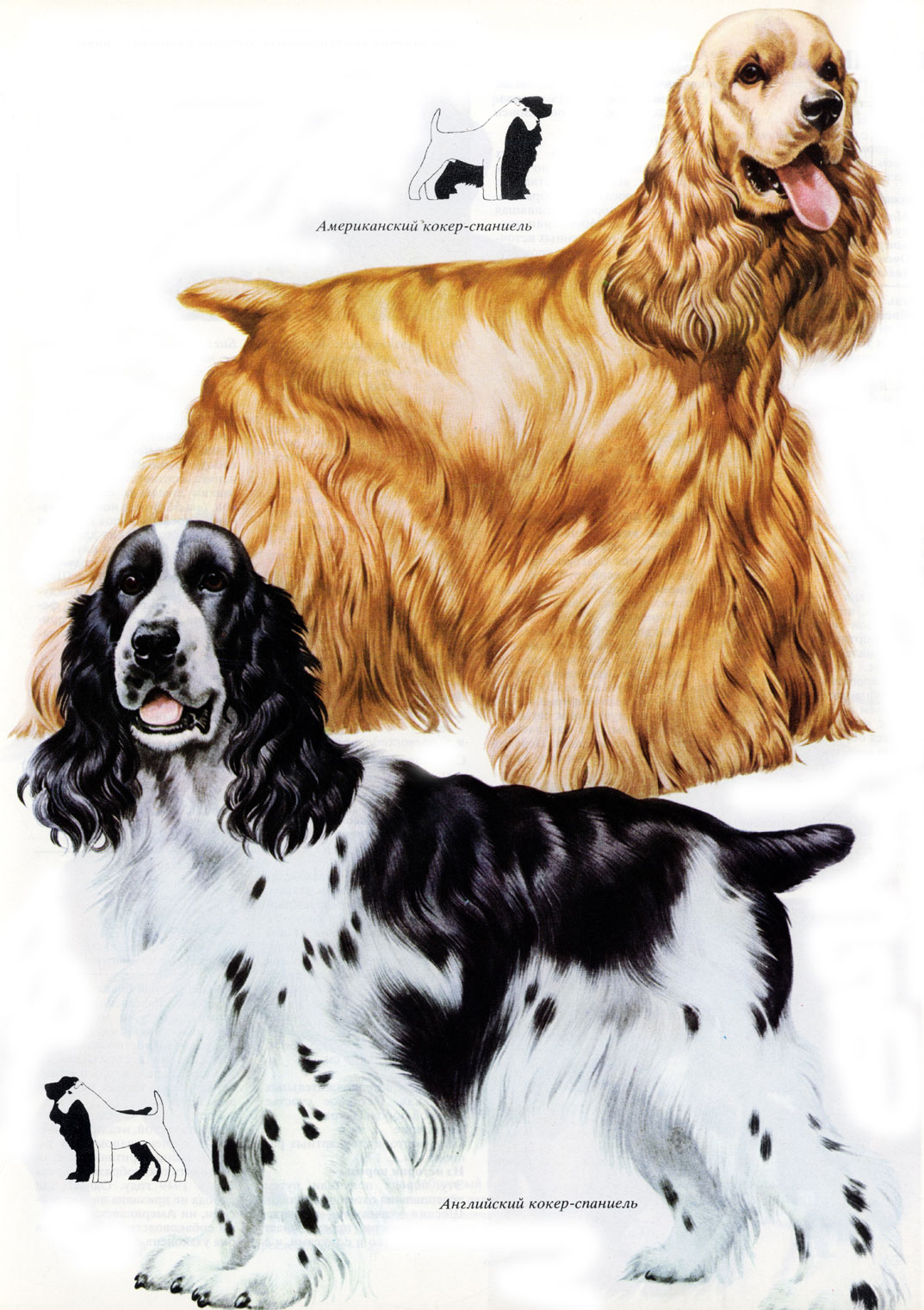 a history of the evolution of the american cocker spaniel American cocker, great dane breeds owned & exhibited: american cocker, great dane, german shepherd american cocker spaniel - history / evolution.