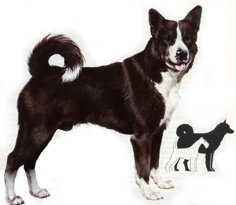 Собака карельская медвежья собака