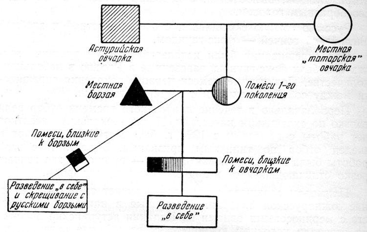 Рис. 65. Схема выведения породы южнорусских овчарок