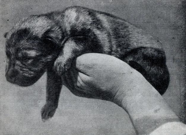 Фотографии щенков   Питомник немецких овчарок  фото