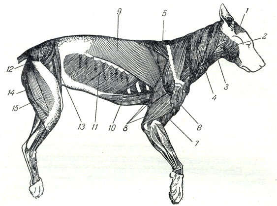 Мускулы собаки: 1 - лобный;