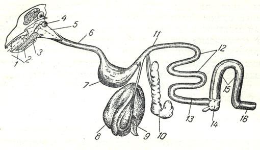 Система органов пищеварения: 1
