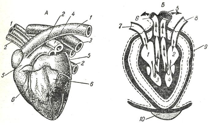 Сердце собаки: А - общий вид: