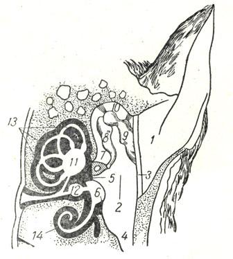 Общая схема строения органа