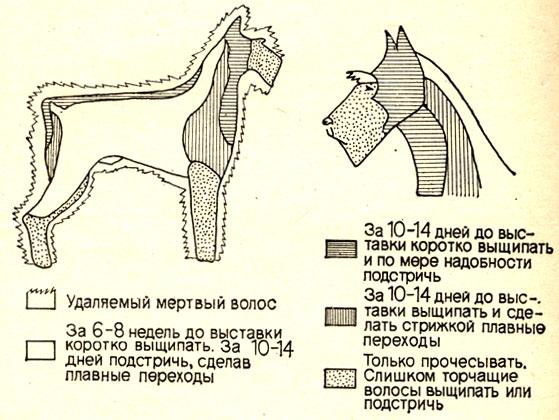 Рис. 17.  Схема тримминга ризеншнауцера.
