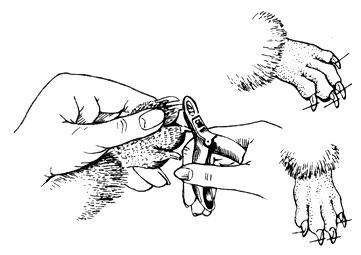 Рис. 19. Укорачивание когтей при помощи специальных кусачек