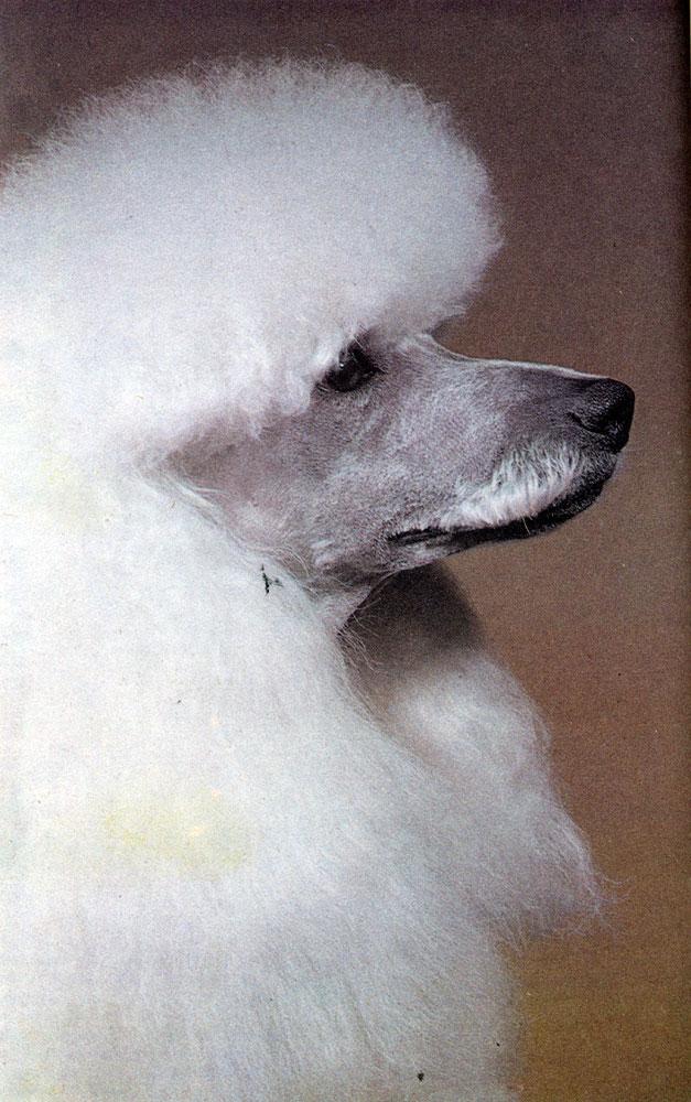 Малый пудель белого окраса (кобель), Международный Чемпион Минарете Рой ал Джестер (заводчик М. Харвуд, Великобритания). Этот кобель не только победитель многих выставок, но и прекрасный производитель