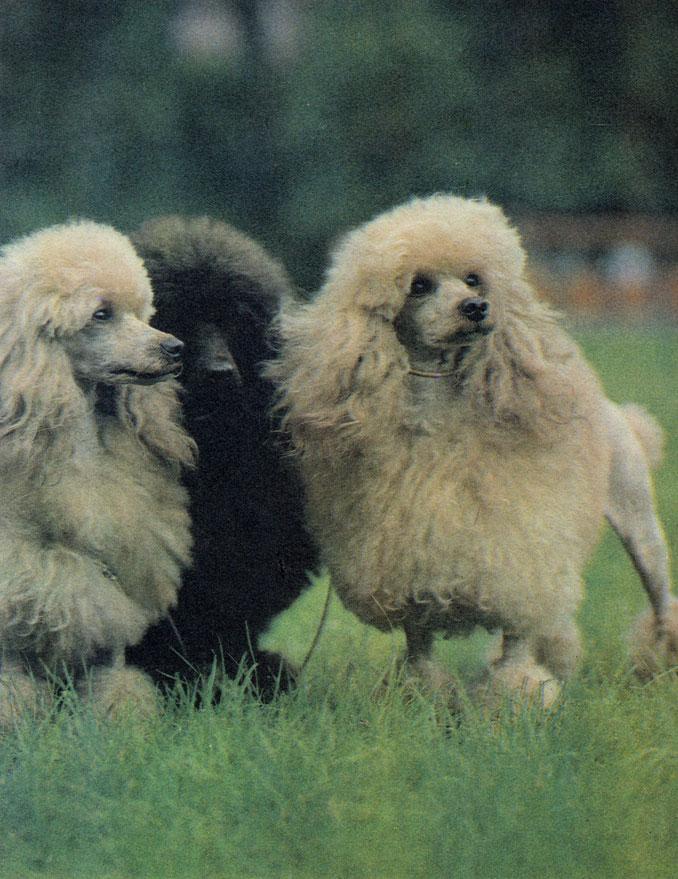 Три хорошенькие сучки карликового пуделя из одного питомника в ЧССР получили наивысшие оценки на Международной выставке 1982 года