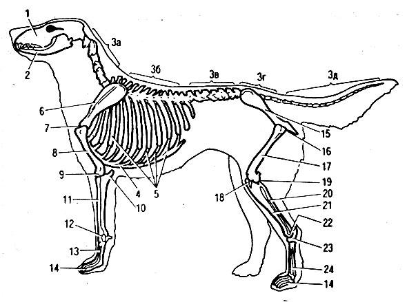 Скелет собаки: 1 - череп;