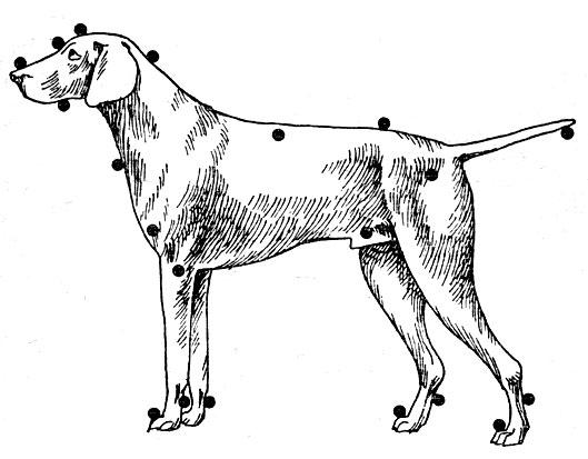 Схема депигментации у собак