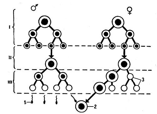 Схема развития сперматозоида и