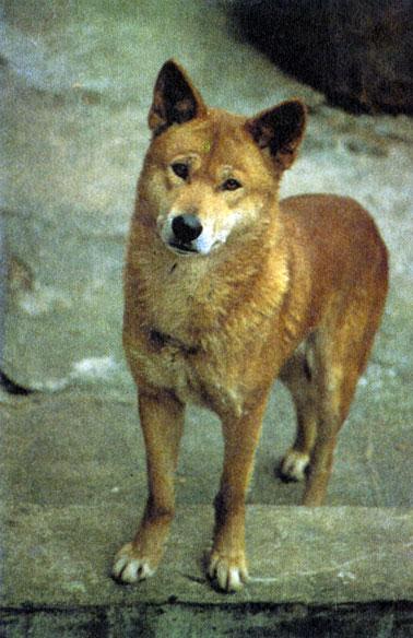 Дикая собака волк