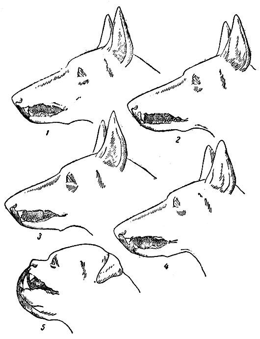 Форма прикуса у собаки (клыки