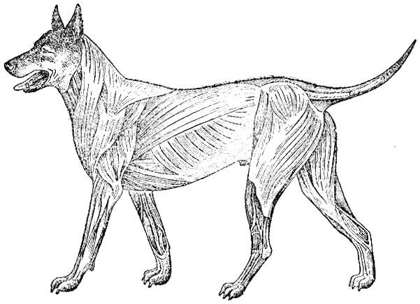 Рис. 39 Мускулатура собаки
