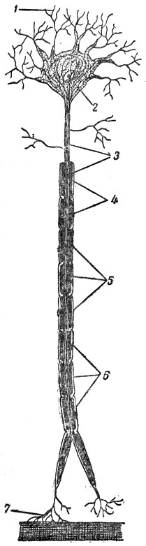 Нейрон (схема): 1 - дендриты;