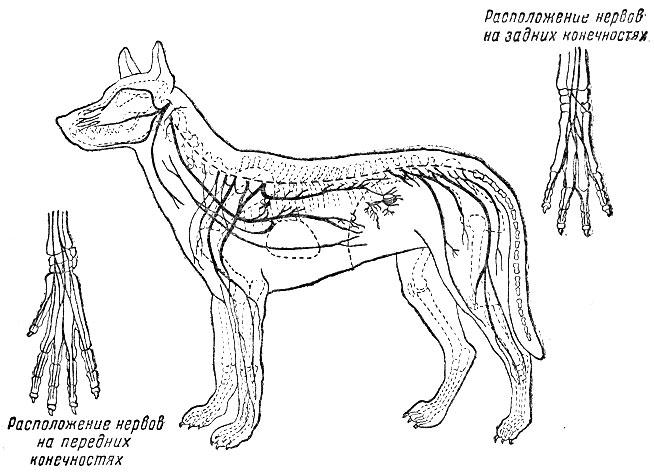 нервная система собаки