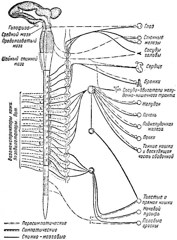 Нервная система [1952 Крушинс.