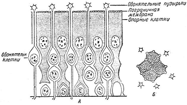 Схема строения слизистой