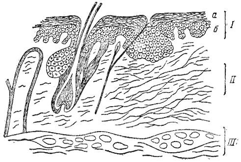 Схема строения кожи: I