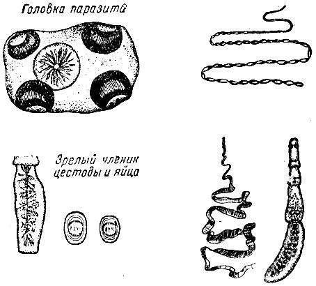 методика семеновой очищение организма от паразитов