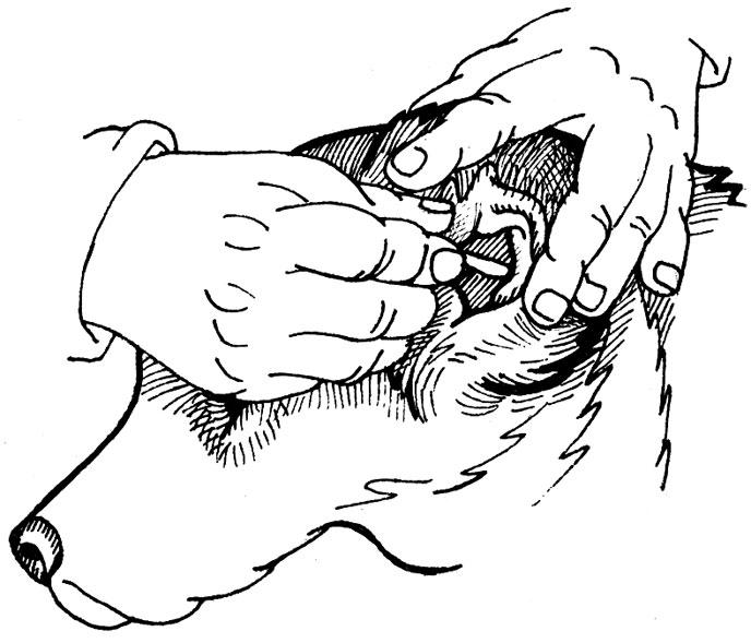 чистка анальных желез: