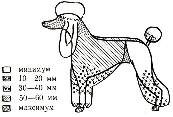 Схема стрижки пуделя модерн